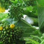 broccoletti_plant